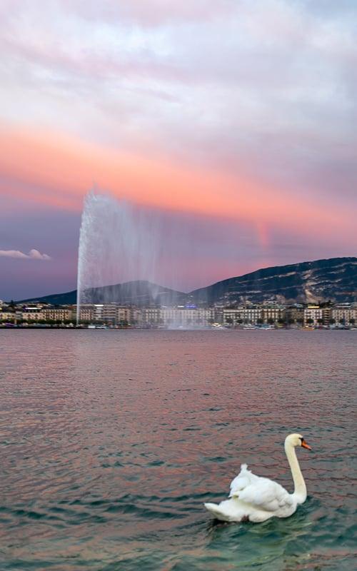 The swans, sunset, and Jet d'Eau make for a very serene scene on Lake Geneva!