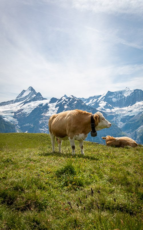 Tip: the best chocolate milk I've ever had was in Switzerland. I attribute it to these happy cows.