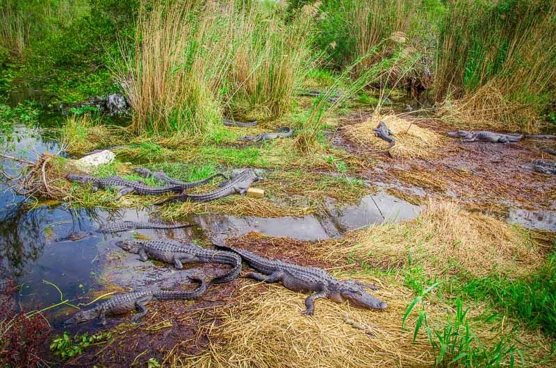 Alligators in the Everglades.