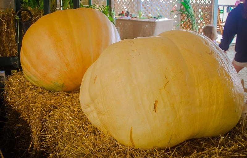 Want to see a giant pumpkin? Head to the Topsfield Fair this fall.