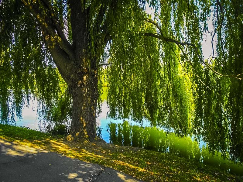 Willow trees in Delaware Park