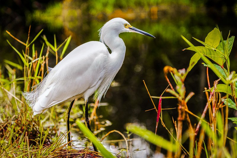 A snowy egret in Everglades National Park.