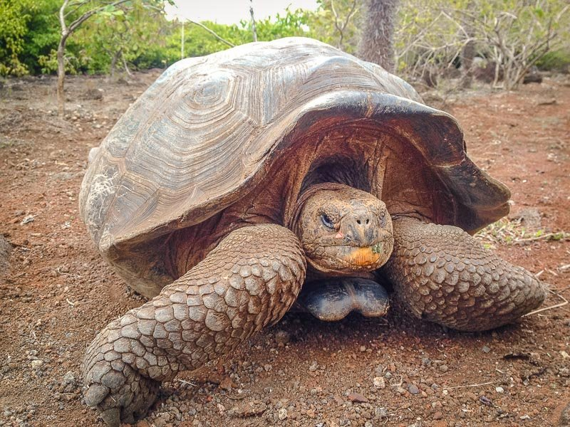 Galápagos tortoise in the Galapagos Islands.
