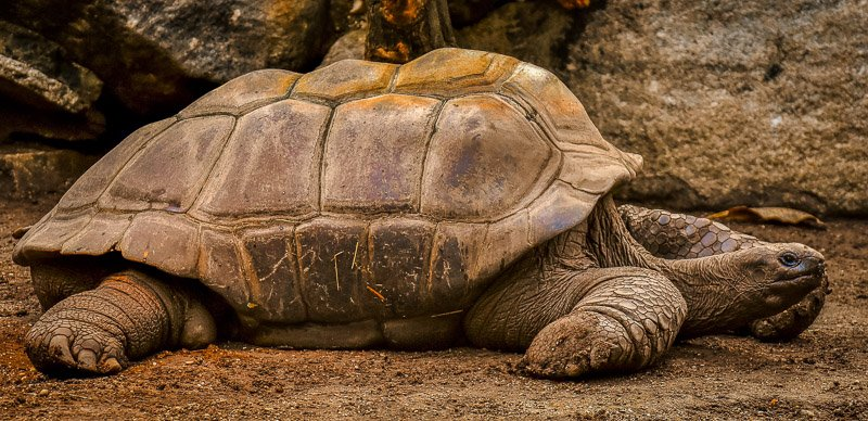 A giant tortoise is one of the many unique species you'll find on the Galapagos Islands.