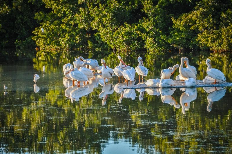 Pelicans in Sanibel Island, among the top places to visit in South Florida.