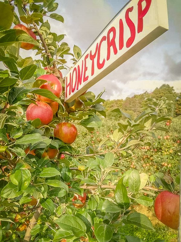 One of the best apple picking orchards in VT