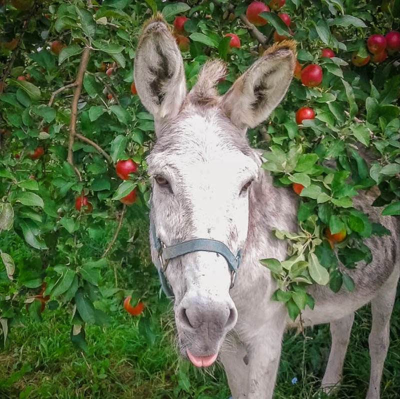 A pick your own apple farm with animals